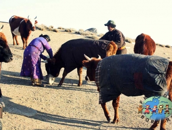 Mongolian couple feeds animals in steppe, Mongolia