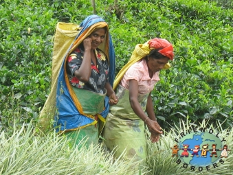 A tea picker's stand amongst the rows of tea plants at a Tea factory in Sri Lanka